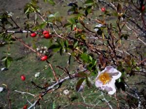 ROSA CANINA - il fiore