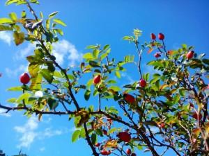 ROSA CANINA - i frutti