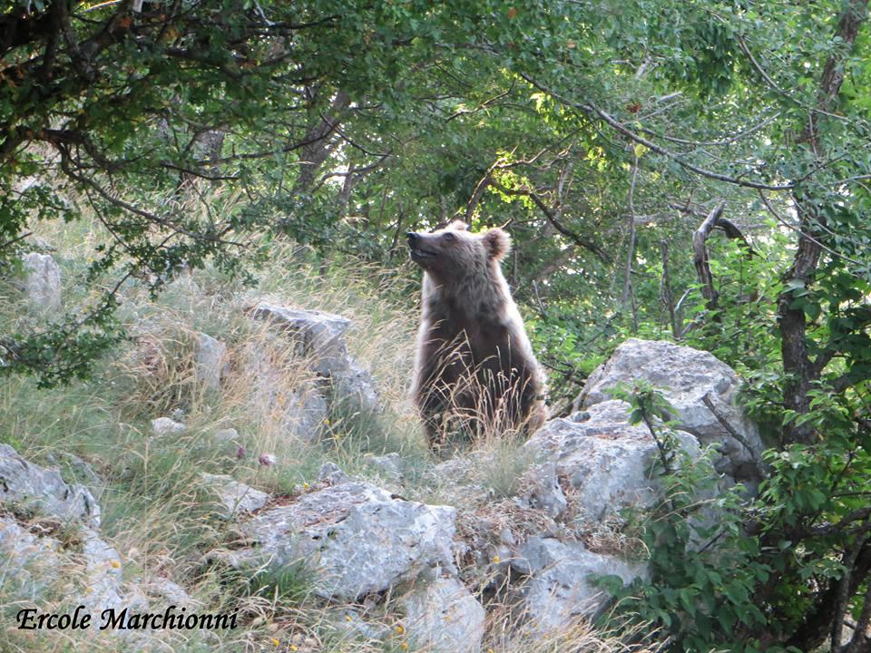 Orso bruno marsicano for Cabina di montagna grande orso
