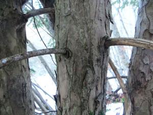 Taxus Baccata - dettaglio del tronco