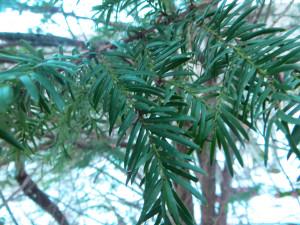 Taxus Baccata - dettaglio foglie