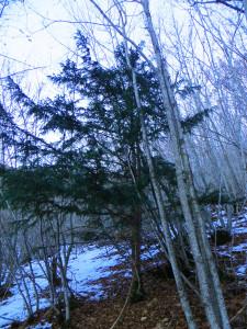 Taxus Baccata - sempreverde tra la neve