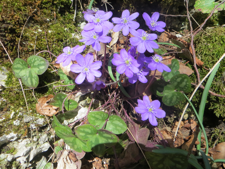 L'Erba trinità, la prima a fiorire prima del finire dell'inverno.