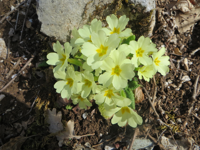 Buona primavera nel segno della primula!