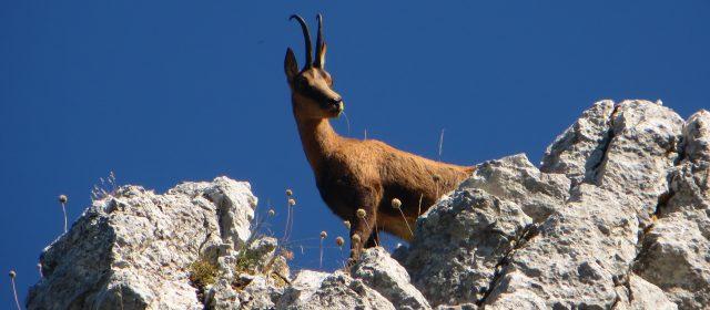 Monte Amaro di Opi, sulle tracce del Camoscio Appenninico