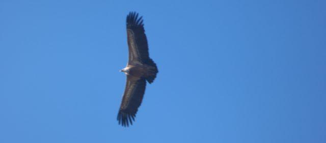 Lo spettacolare volo dei grifoni, alle pendici del Velino [video e foto]