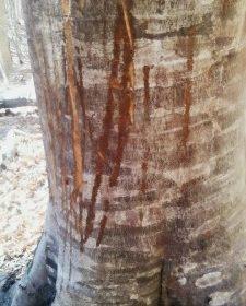 Strani segni sugli alberi…