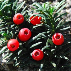 Taxus Baccata - dettaglio del frutto