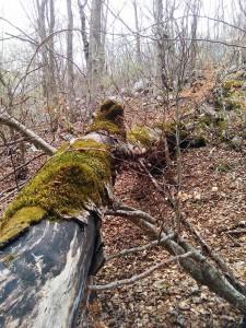 Val Cervara, albero secco