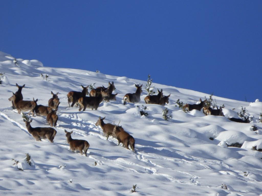Cervi sulla neve nel Parco Naturale Regionale Sirente Velino